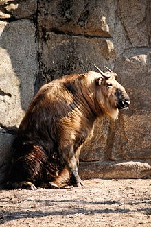 Sichuan Takin, Lincoln Park Zoo, Chicago.jpg