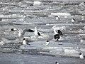 Silltrutar på frusna isflak Aura å.JPG