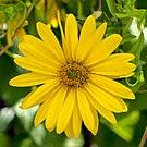 Silphium perfoliatum (Slovenia).jpg