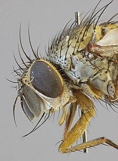 <i>Siphona maculata</i>