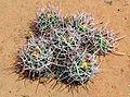 Six Baby Barrel Cactus Clump.jpg