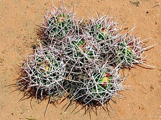 Barrel cactus - Six young barrel cactus in a cluster in the Mojave desert
