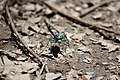 Six Spotted Tiger Beetle face (4631210514).jpg