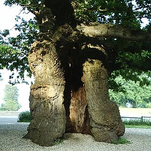 Skovfogedegen, old hollow oak in Klampenborg, ...