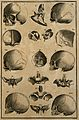 Skulls and skull fragments, showing different shapes of skul Wellcome V0007862ER.jpg