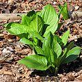 Skunk Cabbage - Flickr - treegrow (6).jpg