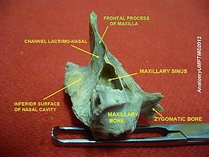 Frontal process of maxilla - Image: Slide 8hhhh