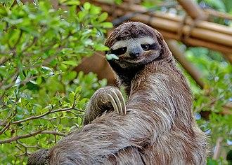 Sloth - Three-toed sloth in the Dallas World Aquarium