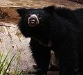 Sloth Bear (4241297943).jpg