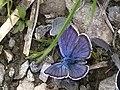 Small Blue perched on Mazarine (3307331264).jpg