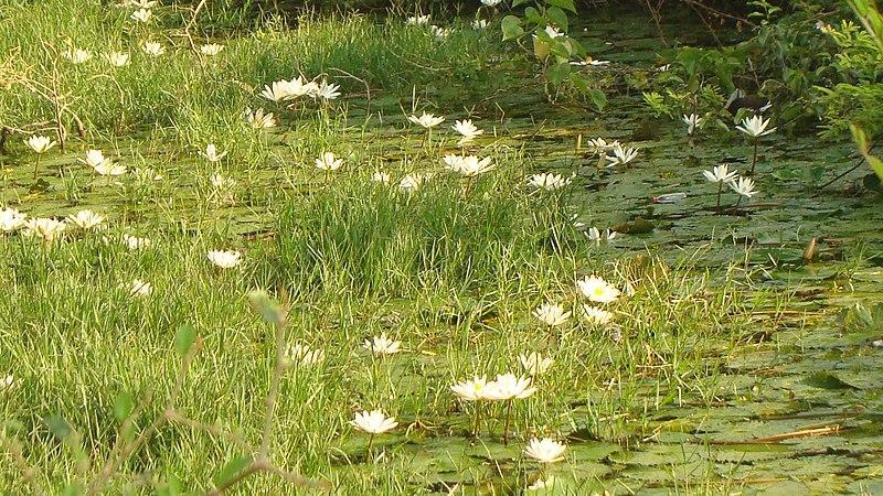 File:Smiling Lotus.jpg