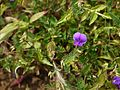 Smithia purpurea Hook. (6230742883).jpg