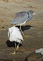 Snowy Egret - Egretta thula and Tricolored Heron - Egretta tricolor, Chincoteague National Wildlife Refuge, Chincoteague, Virginia (38708090344).jpg