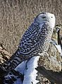 Snowy Owl - Bubo scandiacus, Boundary Bay, British Columbia - 6704942889.jpg