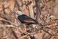 Socotran Starling (f). (cropped).jpg