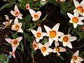 Soest early tulips.jpg