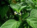 Solanum americanum (4899345876).jpg