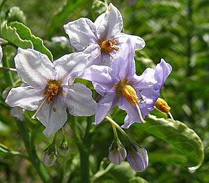 Solanum crispum ex. ligustrinum (8691962426).jpg