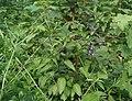 Solanum dulcamara-3.jpg