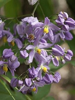 Solanum seaforthianum1ScottZona