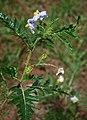 Solanum sisymbriifolium 5.jpg