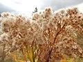 Solidago canadensis - Canada goldenrod - Flickr - Matt Lavin (1).jpg