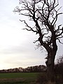Solitary tree - geograph.org.uk - 668311.jpg