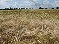 Solstice barley - geograph.org.uk - 473818.jpg