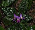 Sonerila maculata 2906x2518.jpg