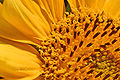 Sonnenblumenherz.JPG