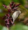 Southern Double-collared Sunbird (Cinnyris chalibeus) female or juvenile on Honey Flower (Melianthus major) (32957097545).jpg
