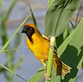 Southern Masked Weaver (Ploceus velatus) male (32762140665).jpg
