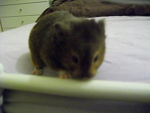 Syrian hamster variations - A male sable hamster