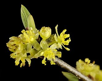 Lindera benzoin - Male spicebush flowers