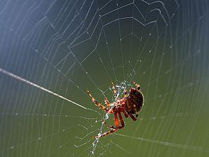 Spinnennetzpd