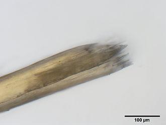 Trichoptilosis - Image: Spliss 4