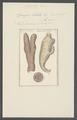 Spongia lobata - - Print - Iconographia Zoologica - Special Collections University of Amsterdam - UBAINV0274 112 05 0007.tif