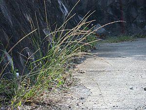 Sporobolus - giant Parramatta grass (Sporobolus fertilis)