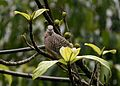Spotted Dove Spilopelia chinensis from Anaimalai Hills Southern Western Ghats JEG3673.jpg