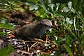 Spotted Sandpiper chick (38824978805).jpg