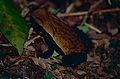 Spotted Toad (Rhaebo guttatus) (10381709475).jpg