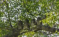 Spotted owlet-2.jpg