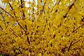 Spring-Golden-Flowers ForestWander.JPG