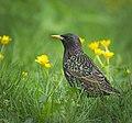 Spring starling (33176275243).jpg