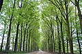 Springtime in Holland with nice soft green colours of the beeches at Hoge Erf Arnhem - panoramio.jpg