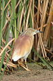 Squacco Heron, Ardeola ralloides at Marievale Nature Reserve, Gauteng, South Africa (15639963991).jpg