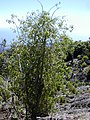 Starr-030222-0084-Charpentiera obovata-habit-Auwahi-Maui (24324517590).jpg