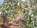 Starr-030525-0025-Nicotiana glauca-flowers and seeds-Kanaha Beach-Maui (24526524492).jpg