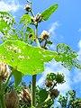 Starr-061108-9813-Hibiscus furcellatus-seed heads-Hoolawa Farms-Maui (24501125329).jpg