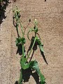 Starr-070215-4504-Sonchus oleraceus-plant on pavement-Old macadamia nut orchards Waiehu-Maui (24255550983).jpg